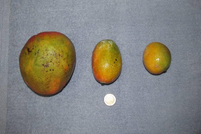 Trois variétés de mangues.