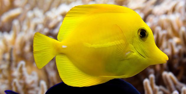 La incre ble historia de un pez llamado scar le forum for Manual de peces ornamentales